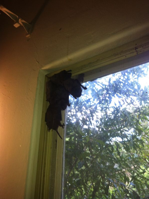 bats in the window after the ceiling came down