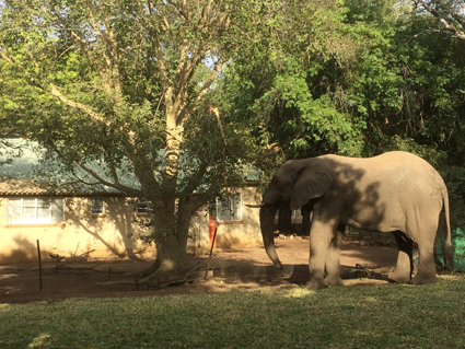 Elephant eating a fig tree in the staff village in Letaba Kruger National Park