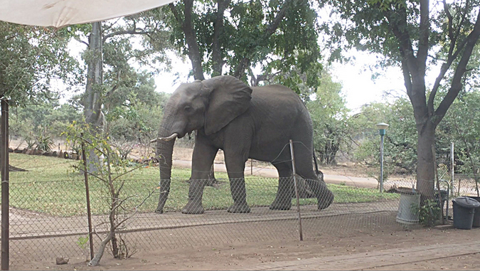 Elephant in the Letaba staff village of Kruger National Park
