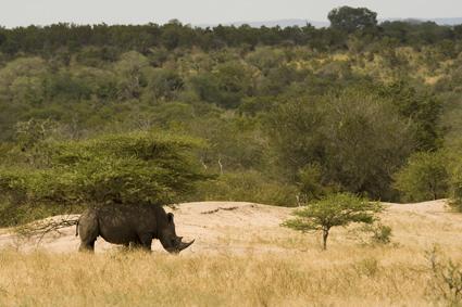 White rhino bull under tree