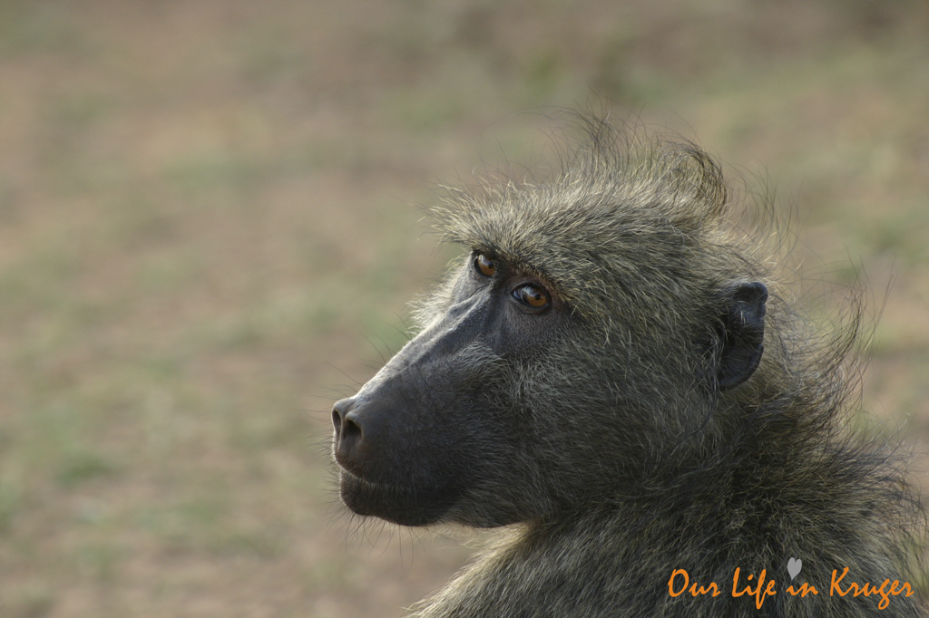 Chackma baboon Kruger National Park