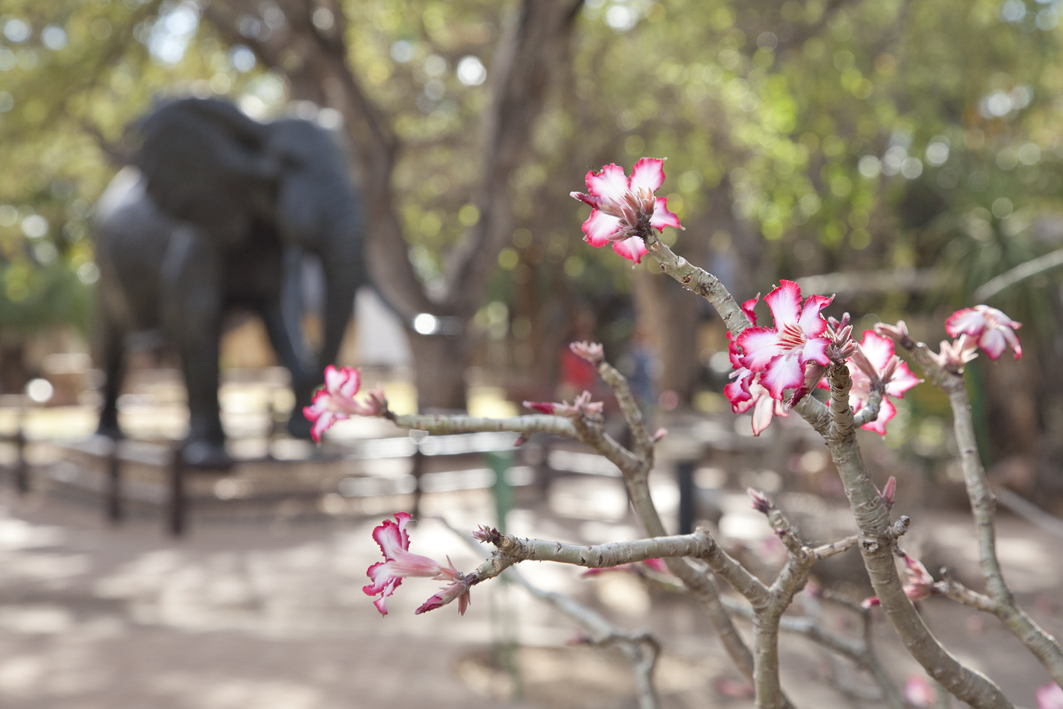 Impala lilly and the elephant statue at the museum in Letaba