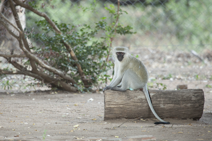 Vervet Monkey in our garden in Letaba KNP