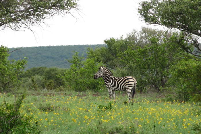 Zebra in summer, kruger np