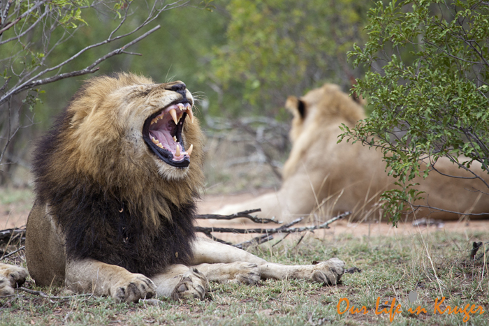 Yawning lion in Kruger National Park, Our life in Kruger