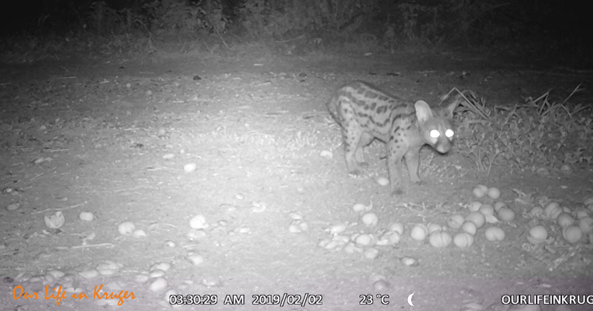 Large Spotted Genet! Norcurnal creatures at our fence