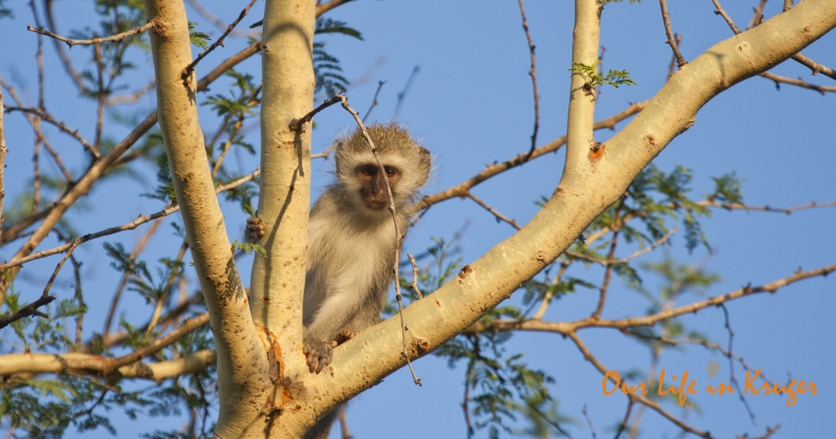 Vervet Monkey in our garden in Kruger National Park