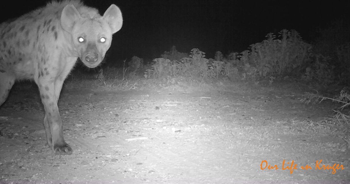 Hyena on our Trailcam in Kruger National Park