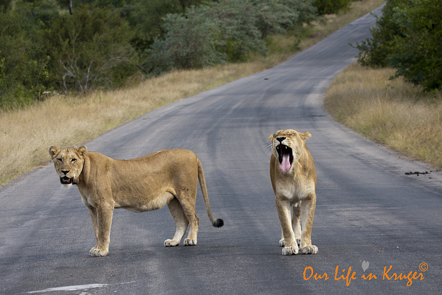 Lionesses on our Kruger Lock-Dowb road trip