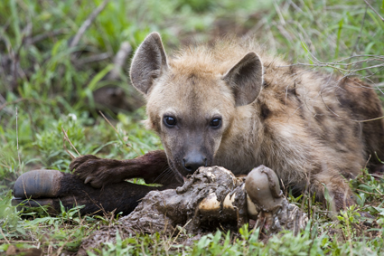 Hyena with a buffalo bone in Kruger National Park