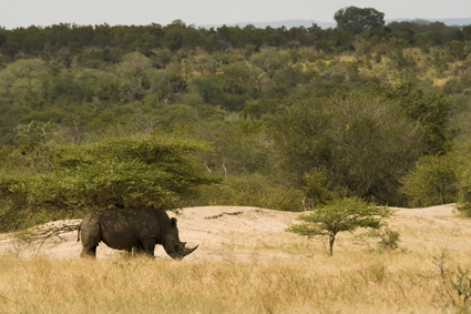 White rhino bull under tree