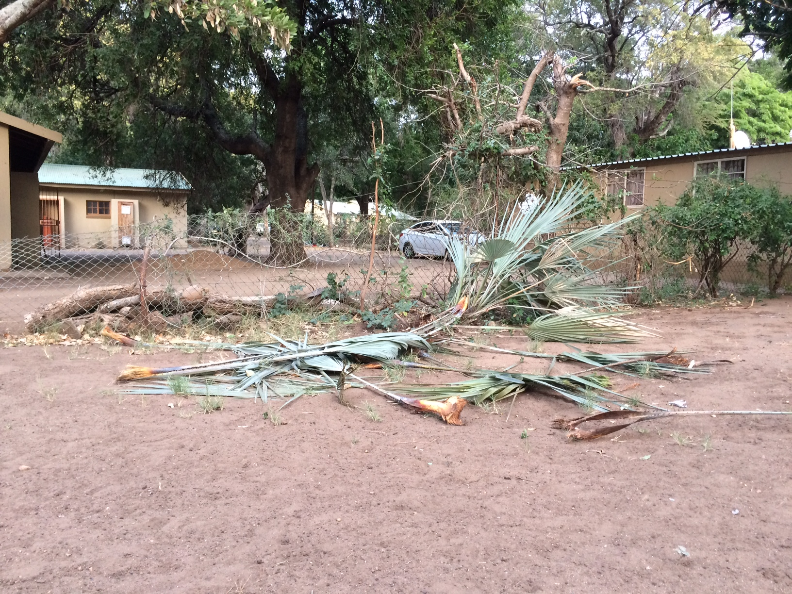 Elephant damage to our lala palm
