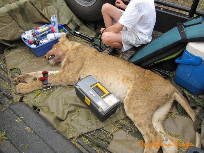 Lions in Lower Sabie