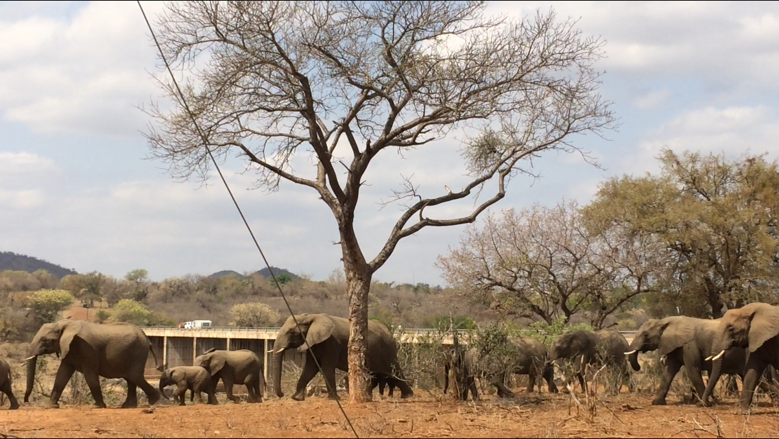 Herd of elephants from our yard at malelane Gate, KNP