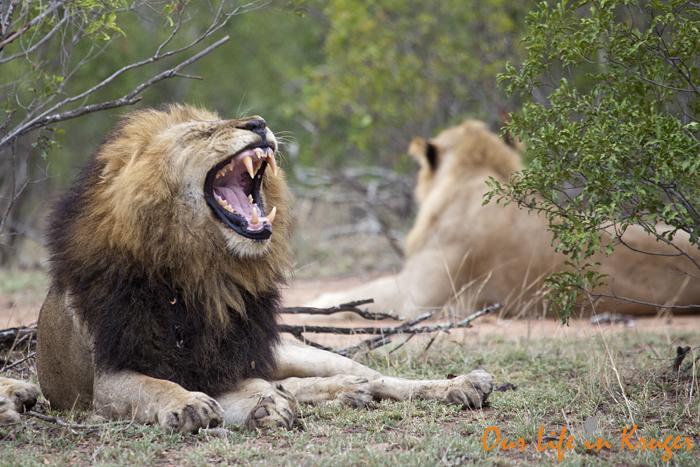 Yawning lion in Kruger National Park, Our life in Kruger
