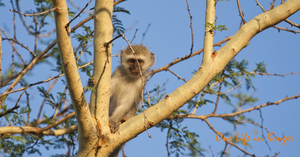 Vervet Monkey in our garden in Kruger National Park
