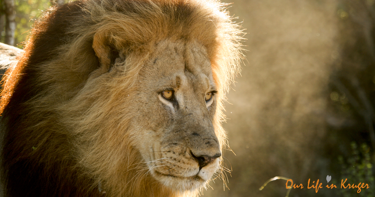 One of the Male lions in Kruger