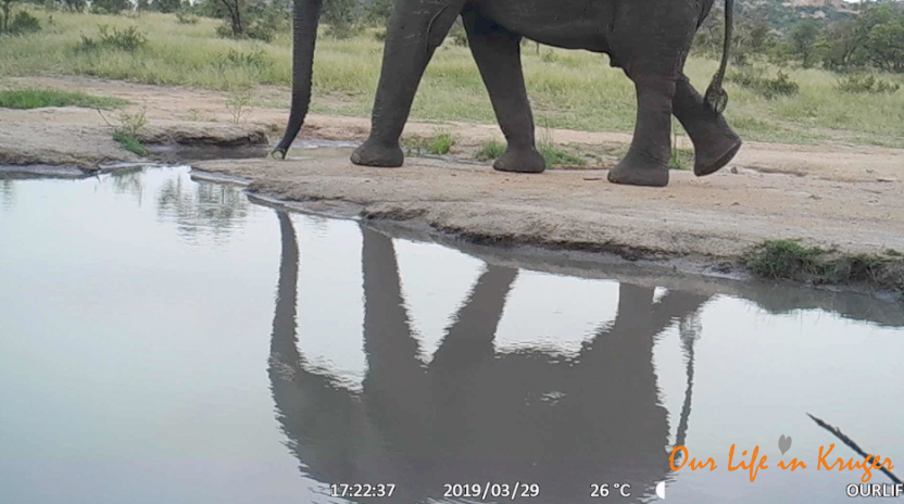 reflections of an elephant in KNP