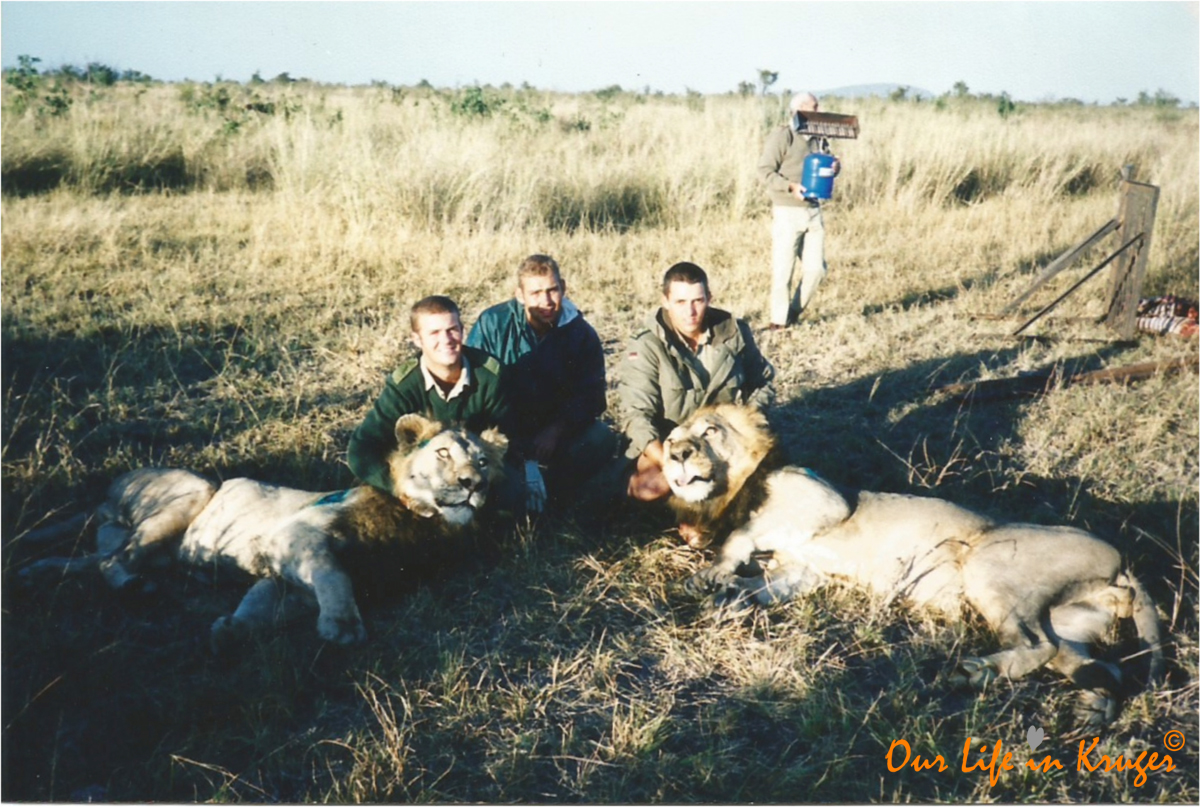 When darted lions wake up too early