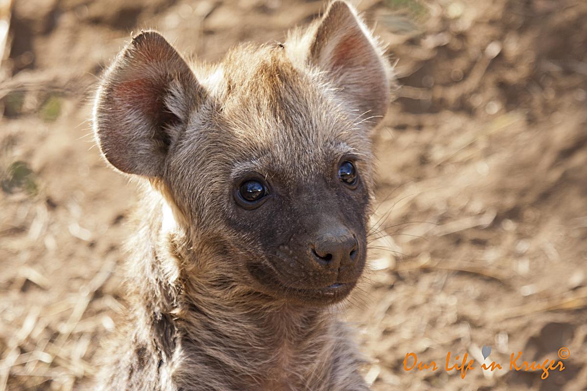 Dear Hyenas of Wolhuter