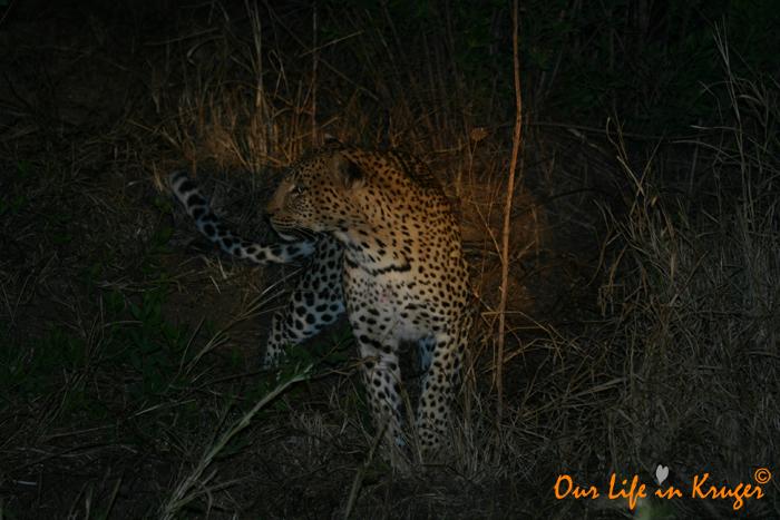 A Leopard in Camp?