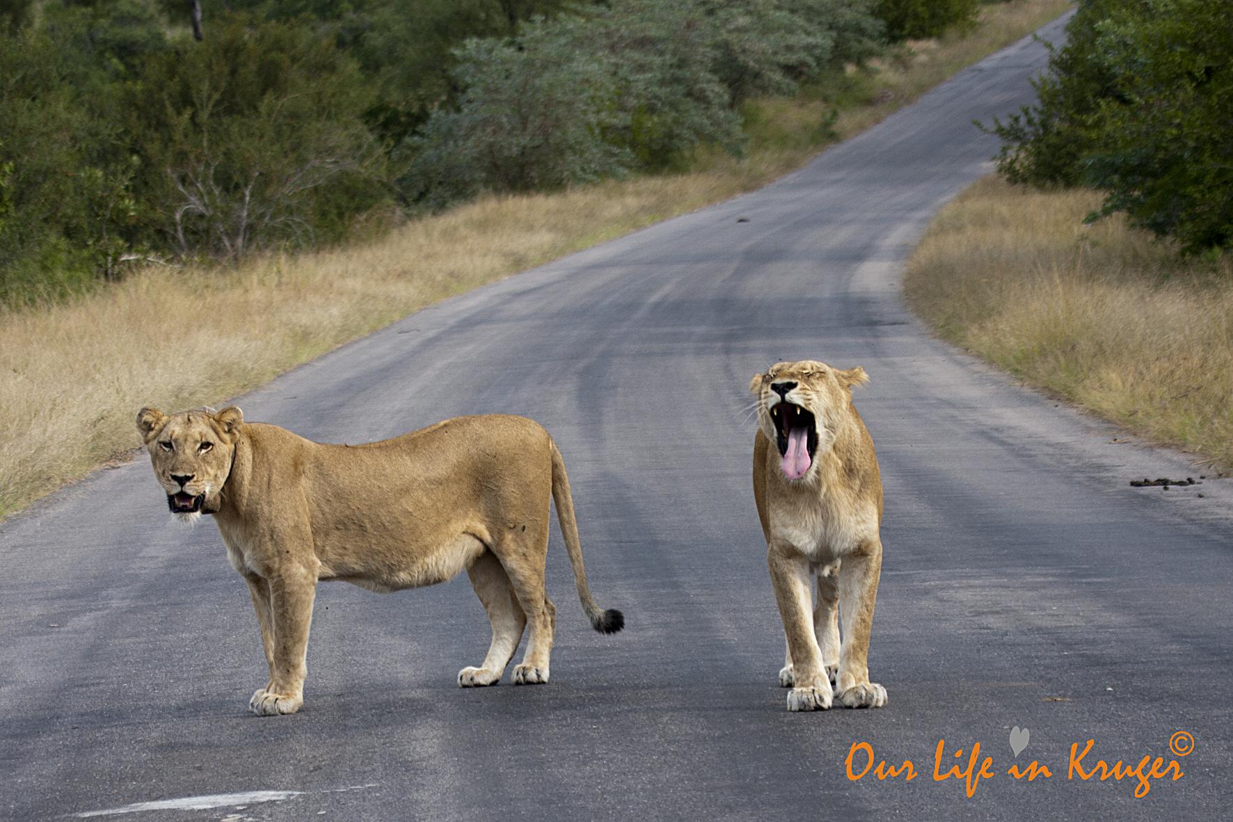 Lionesses on our Kruger Lock-Dowb road trip