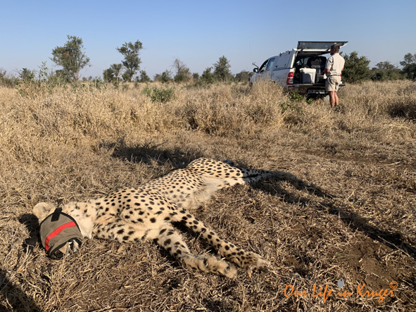 helping a cheetah with a snare